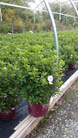 Azalea 'Encore® Autumn Lily™' - 3 Gal. Crop Shot for 2019-42