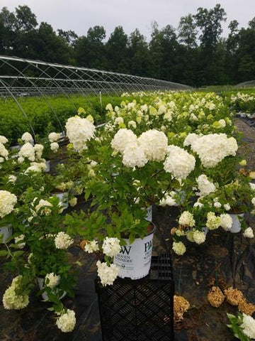 Hydrangea-Panicle 'Limelight' - 2 Gal. Crop Shot for 2020-30