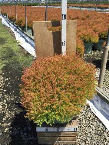 Arborvitae - 'Fire Chief™' - 3 Gal. Crop Shot for 2020-29