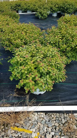 Spirea 'Double Play® Big Bang™' - #3 Crop Shot for 2018-32