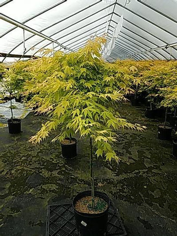 Maple - Japanese 'Orange Dream' - 3 Gal. Crop Shot for 2020-20