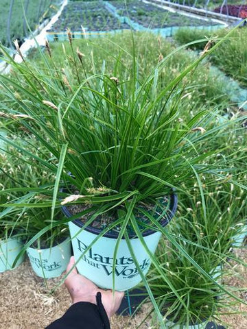 Ornamental Grass-Sedge 'EverColor® Everlime' - 8`` Crop Shot for 2018-19