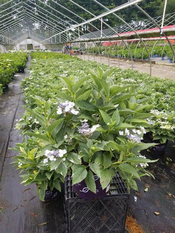Hydrangea - Big Leaf 'Light O Day®' - 3 Gal. Crop Shot for 2020-27