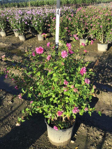 Rose Of Sharon - 'Lucy' - 7 Gal. Multi Stem Crop Shot for 2020-34