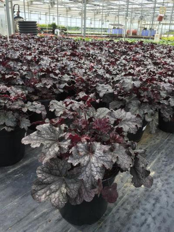 Coral Bells 'Plum Pudding' - 2 Gal. Crop Shot for 2019-23