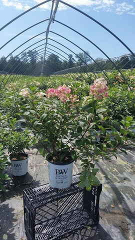 Hydrangea-Panicle 'Little Quick Fire®' - 2 Gal. Crop Shot for 2019-32