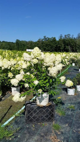 Hydrangea-Panicle 'Limelight' - 5 Gal. Crop Shot for 2019-32