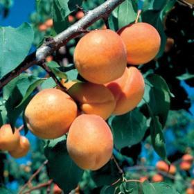 Prunus X 'Goldcot'-#7 Container<br />Goldcot Apricot