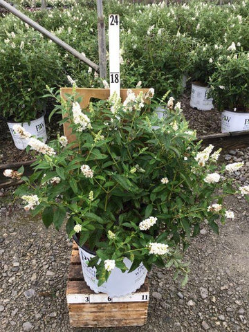 Butterfly Bush - 'Miss Pearl' - 3 Gal. Crop Shot for 2020-37