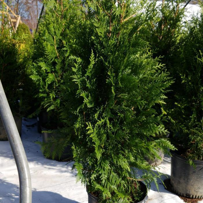 Arborvitae Green Giant 7 Gal Shrubbucket