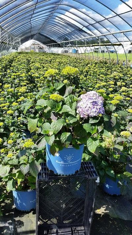 Hydrangea-Big Leaf 'Endless Summer® Bloomstruck®' - 3 Gal. Crop Shot for 2019-22