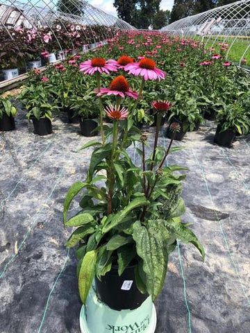 Coneflower 'Magnus' - 2 Gal. Crop Shot for 2019-33