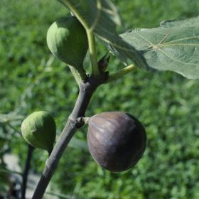 Ficus carica 'Bensonhurst Purple'-#3 Container<br />Bensonhurst Purple Fig