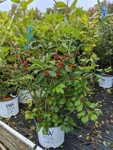 Holly-Winterberry 'Berry Heavy®' - 3 Gal. Crop Shot for 2019-40