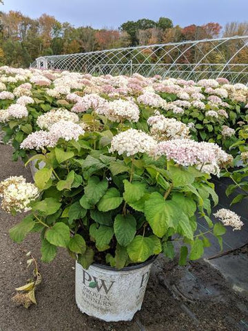 Hydrangea-Smooth 'Invincibelle Wee White® ' - 3 Gal. Crop Shot for 2019-40