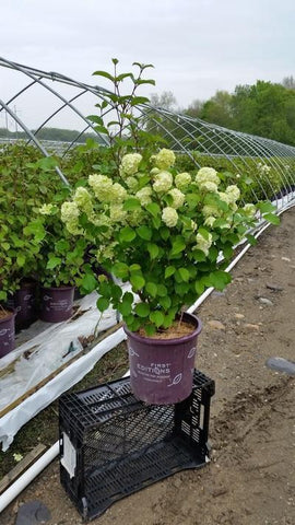 Viburnum 'Opening Day™' - 3 Gal. Crop Shot for 2019-19