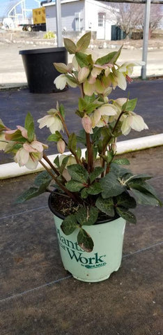 Hellebore 'Frostkiss® Moondance™' - 8 In. Crop Shot for 2020-12