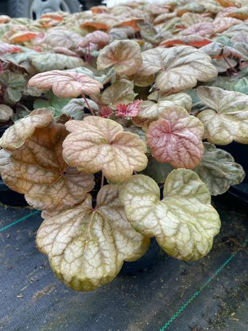 Coral Bells 'Apricot' - 1 Gal. Crop Shot for 2020-37