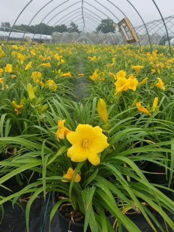 Daylily 'Stella Doro' - 1 Gal. Crop Shot for 2019-24