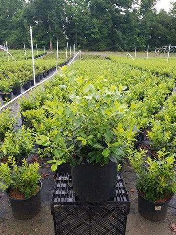 Holly-Winterberry 'Red Sprite' - 3 Gal. Crop Shot for 2020-30