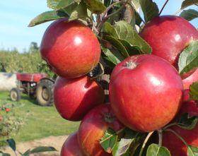 Apple 'Rubens®' - 7 Gal.
