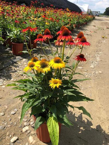 Coneflower 'Cheyenne Spirit' - 2 Gal. Crop Shot for 2019-33