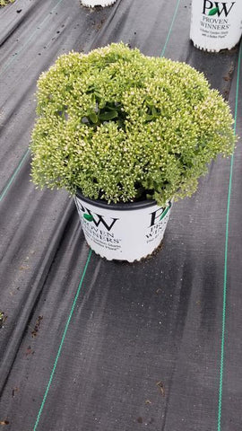 Stonecrop 'Pure Joy' - 2 Gal. Crop Shot for 2020-30