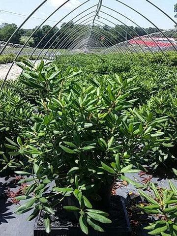 Rhododendron 'English Roseum' - 5 Gal. Crop Shot for 2020-27