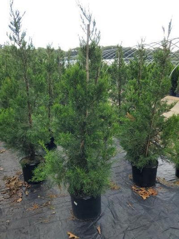 Juniper 'Hetzii Columnaris' - 7 Gal. Crop Shot for 2020-34