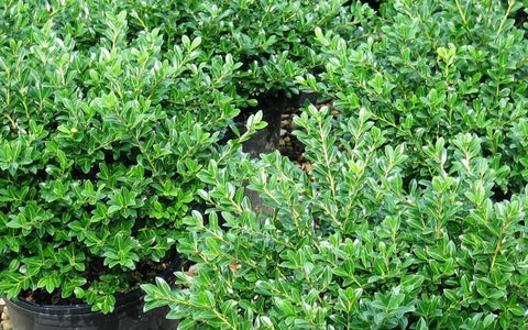 Holly-Japanese 'Green Luster' - 3 Gal.