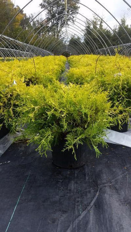 Cypress 'Vintage Gold' - 3 Gal. Crop Shot for 2019-42