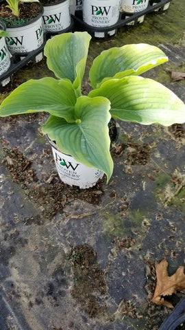 Hosta Shadowland® 'Wu-La-La' - 1 Gal. Crop Shot for 2020-18