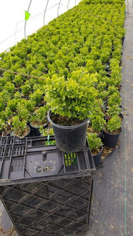 Boxwood 'Tide Hill' - 1 Gal. Crop Shot for 2020-19