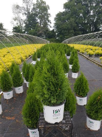 Arborvitae 'North Pole®' - 3 Gal. Crop Shot for 2020-31