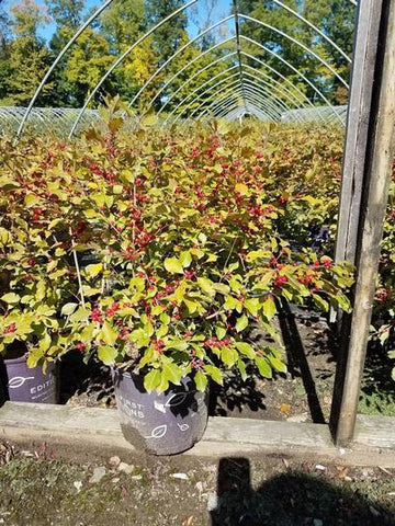 Holly-Winterberry 'Wildfire™' - 3 Gal. Crop Shot for 2019-37