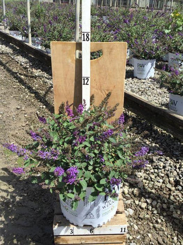 Butterfly Bush - 'Lo & Behold® Blue Chip Jr' - 3 Gal. Crop Shot for 2020-34