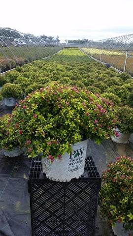 Spirea 'Double Play® Gold' - 3 Gal. Crop Shot for 2019-36