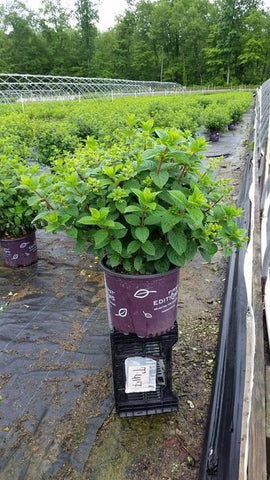 Hydrangea-Panicle 'Strawberry Sundae®' - 3 Gal. Crop Shot for 2019-24