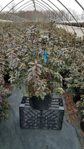 Rhododendron 'Pjm Elite' - 5 Gal. Crop Shot for 2020-12