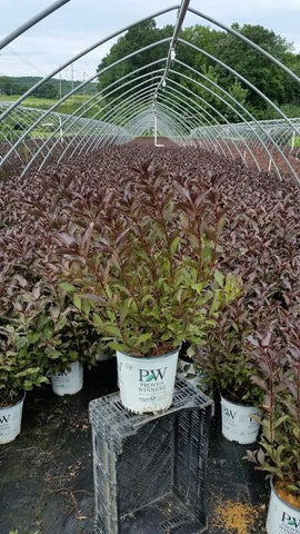 Weigela 'Wine & Roses®' - 2 Gal. Crop Shot for 2019-33