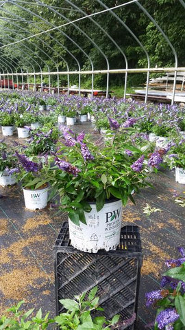 Butterfly Bush 'Pugster Blue®' - 3 Gal. Crop Shot for 2019-33