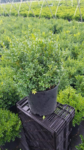 Boxwood 'Green Gem' - 3 Gal. Crop Shot for 2020-30