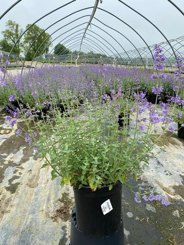 Catmint 'Walkers Low' - 2 Gal. Crop Shot for 2020-21