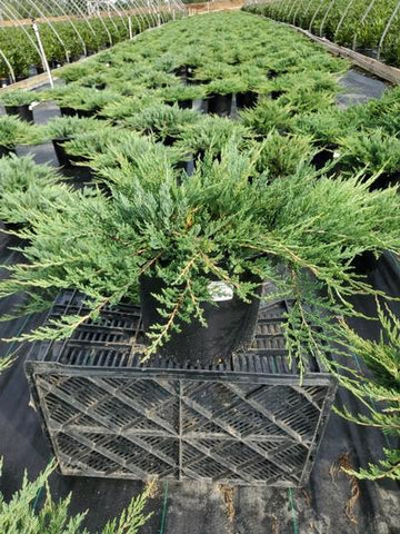 Juniper 'Bar Harbor' - 3 Gal. Crop Shot for 2020-34