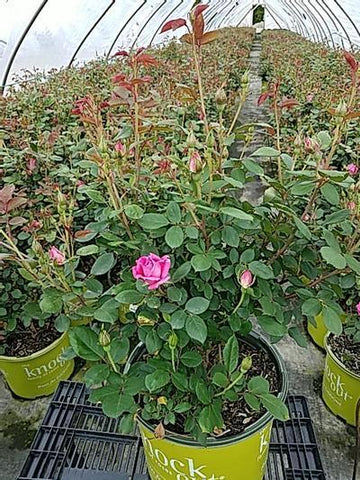 Rose 'Double Pink Knockout' - 3 Gal. Crop Shot for 2020-20