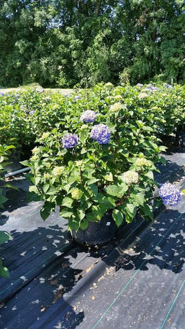 Hydrangea-Big Leaf 'Endless Summer® Bloomstruck®' - 10 Gal. Crop Shot for 2019-29