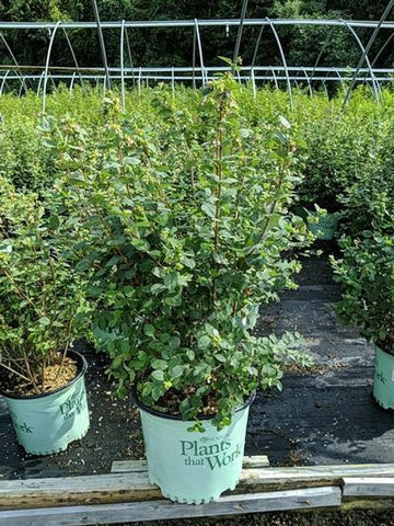 Snowberry 'Magical® Avalanche' - 3 Gal. Crop Shot for 2020-32