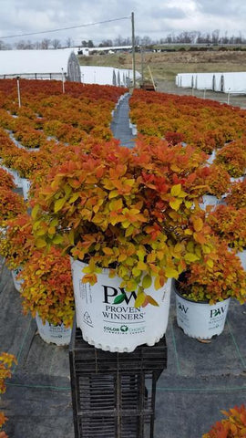 Spirea 'Double Play® Big Bang™' - 3 Gal. Crop Shot for 2019-16