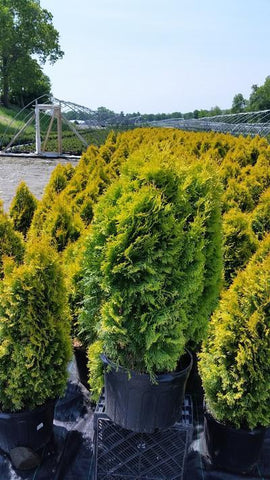 Arborvitae 'Amber Gold' - 5 Gal. Crop Shot for 2019-21