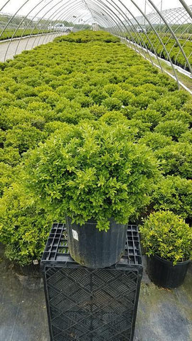 Boxwood 'Tide Hill' - 3 Gal. Crop Shot for 2019-20